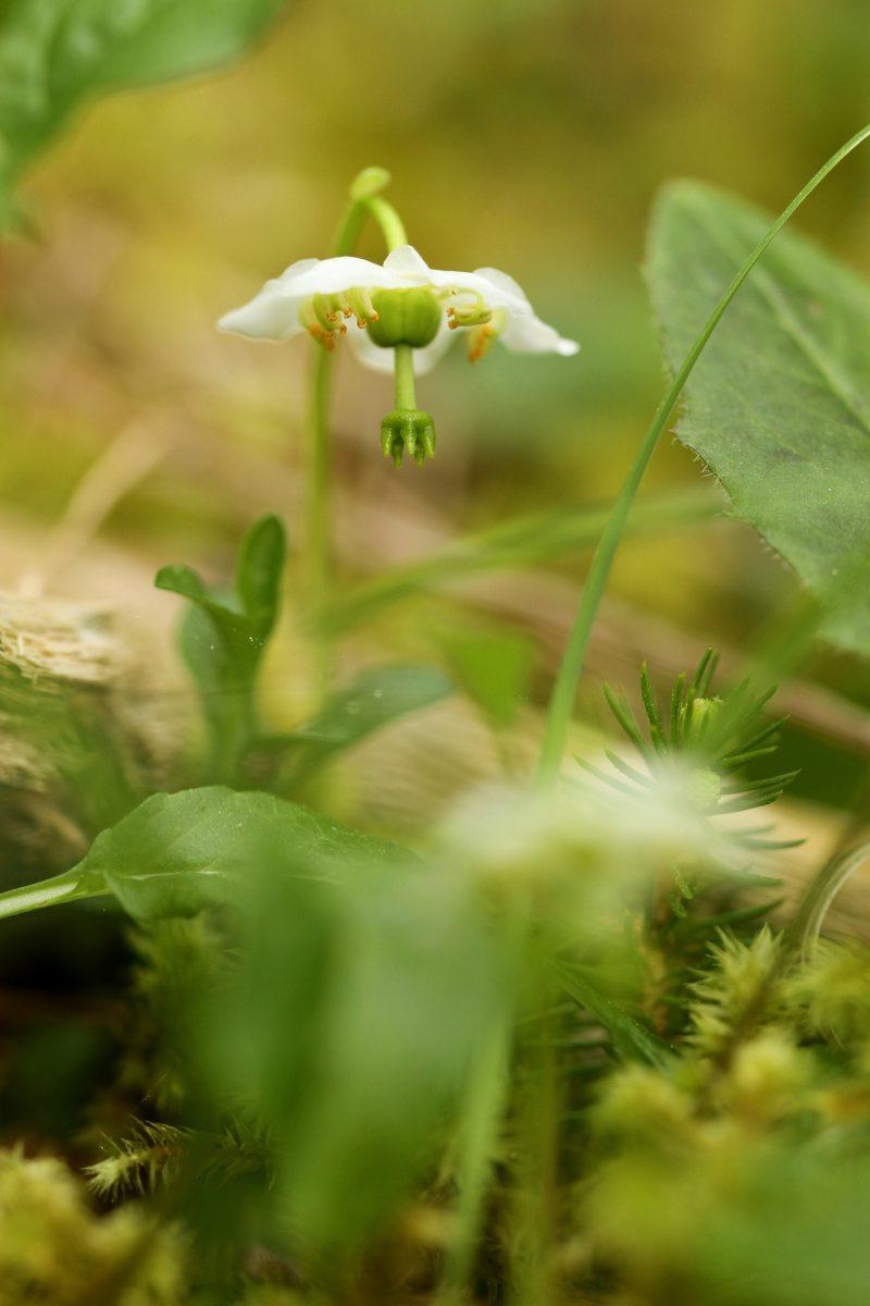 pyrole-1-fleur